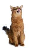 Somali cat isolated on white background Stock Image
