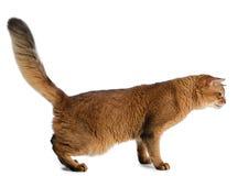 Somali cat isolated on white background Stock Photo