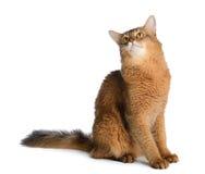 Somali cat isolated on white background Stock Images