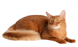 Somali cat isolated on white background Royalty Free Stock Photos