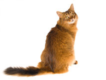 Somali cat looking back at camera. Show champion Somali cat sitting on white background, looking over his shoulder Royalty Free Stock Image