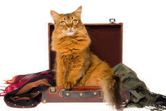 Somali cat lying in brown suitcase. On white background royalty free stock photos