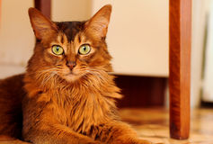 Somali cat lying portrait. Purebred somali cat lying on the floor and looking at camera portrait Royalty Free Stock Photo