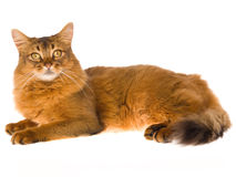 Somali cat lying on white background. Show champion Somali cat lying down on white background Royalty Free Stock Photo