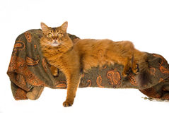 Somali cat on mini couch. Show champion Somali cat sitting on miniature couch, on white background Royalty Free Stock Photos
