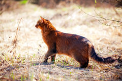 Somali cat outdoor. Somali cat hunting on spring dry grass Royalty Free Stock Photos