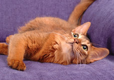 Somali cat playing on the sofa. Somali cat ruddy color lying on blue sofa Royalty Free Stock Images