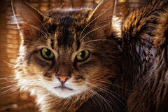 Somali cat portrait. Rudy somali cat close-up portrait Royalty Free Stock Photography