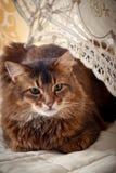 Somali cat portrait. Rudy somali cat portrait under lace umbrella on vintage background Royalty Free Stock Image