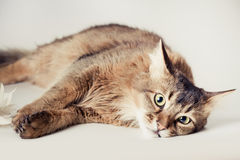 Somali cat portrait. Somali cat on light background royalty free stock images