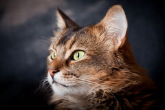Somali cat portrait. Somali cat in a shadow Stock Images