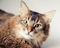 Somali cat portrait. Somali cat on light background royalty free stock photos