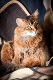Somali cat portrait. Somali cat in a shadow Royalty Free Stock Photo