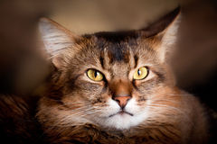 Somali cat portrait. Somali cat close up in a shadow Royalty Free Stock Photo