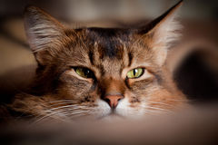Somali cat portrait. Somali cat close up in a shadow Stock Photo