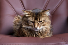 Somali cat portrait. Somali cat on brown leather chair Stock Images
