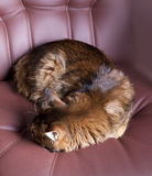 Somali cat portrait. Somali cat on brown leather chair Royalty Free Stock Photography