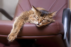 Somali cat portrait. Somali cat on brown leather chair Royalty Free Stock Images