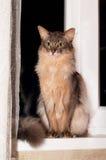 Somali cat portrait. Somali cat blue color portrait sits on windowsill at home at night Stock Photos