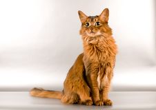 Somali cat portrait. Cute somali cat studio looking for something portrait on silver background Stock Photo