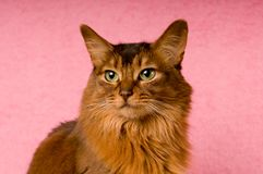 Somali cat portrait. Cute somali cat studio snapshot asking with paw and looking at camera Royalty Free Stock Photo