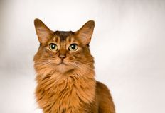 Somali cat portrait. Cute somali cat studio snapshot asking with paw and looking at camera Stock Photography