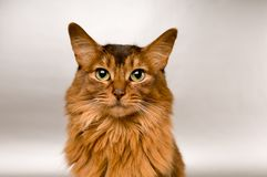 Somali cat portrait. Cute somali cat studio snapshot asking with paw and looking at camera Stock Images