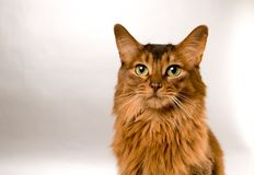 Somali cat portrait. Cute somali cat studio snapshot asking with paw and looking at camera Royalty Free Stock Photography