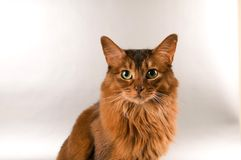 Somali cat portrait. Cute somali cat studio snapshot asking with paw and looking at camera Royalty Free Stock Photos