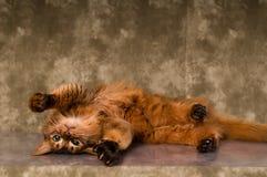 Somali cat portrait. Cute somali cat studio snapshot having fun and joy royalty free stock photos