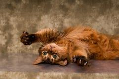 Somali cat portrait. Cute somali cat studio snapshot having fun and joy stock images