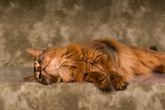 Somali cat portrait. Cute somali cat studio snapshot having fun and joy royalty free stock photography