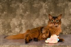 Somali cat portrait. Cute somali cat studio snapshot having fun and joy with plush toy Royalty Free Stock Images