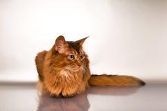 Somali cat portrait. Cute somali cat studio snapshot profile portrait stock photography