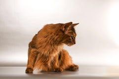 Somali cat portrait. Cute somali cat studio snapshot profile portrait royalty free stock image