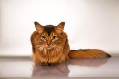 Somali cat portrait. Cute somali cat studio thinking portrait on silver background stock photos