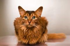Somali cat portrait. Cute somali cat studio thinking portrait on silver background stock image