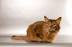Somali cat portrait. Cute somali cat studio thinking portrait on silver background Stock Photography
