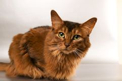 Somali cat portrait. Cute somali cat studio thinking portrait on silver background Royalty Free Stock Images