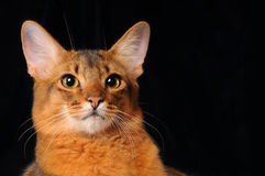 Somali cat portrait on dark background. Somali cat ruddy color portrait on dark background stock images