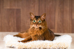 Somali cat portrait on fluffy bed. Lying and looking at camera Stock Photo