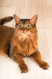 Somali cat portrait. Lying at studio on light wooden parquet Stock Photography