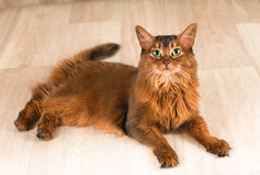 Somali cat portrait. Lying at studio on light wooden parquet Stock Image