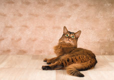 Somali cat portrait. Lying at studio on light wooden parquet Stock Photos