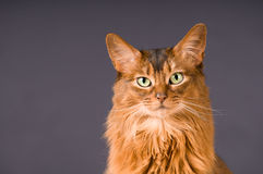 Somali cat portrait Stock Image