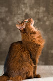 Somali cat portrait. Purebre Somali cat ruddy color portrait at studio stock image
