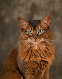 Somali cat portrait. Purebre Somali cat ruddy color portrait at studio stock photos