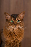 Somali cat portrait. Purebre Somali cat ruddy color portrait at studio stock photo