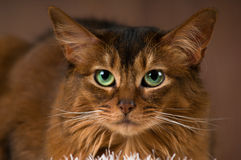 Somali cat portrait. Purebre Somali cat ruddy color portrait at studio royalty free stock photos