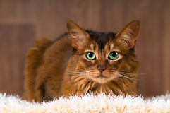 Somali cat portrait. Purebre Somali cat ruddy color portrait at studio royalty free stock photo